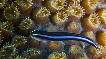 Blue Neon Goby