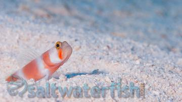 Orange Banded Prawn Goby - Indian Ocean