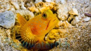 Yellow Watchman Goby & Randalli Shrimp DUO - Super Special