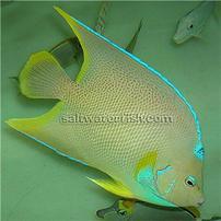 Blue Angelfish: Juvenile