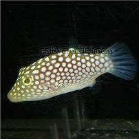 Hawaiian Spotted Puffer
