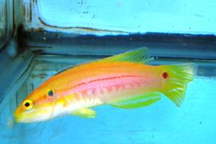 Twospot Candy Hogfish