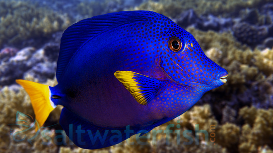 Purple tang red sea for Purple saltwater fish