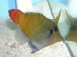 Redtail Filefish