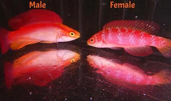 Hawaiian Flame Wrasse - Male