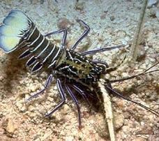 Blue Spiny Lobster