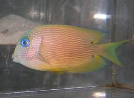 Blue Eyed Tang - Limit 1 Super Special