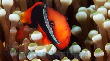 Cinnamon Clownfish - Captive Bred