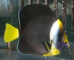 Personifer Angelfish - Coral Sea