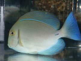 Blochii Surgeonfish - Central Pacific