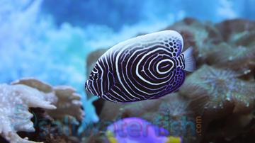 Emperor Angelfish - Juvenile - Limit 1 Mega Sale