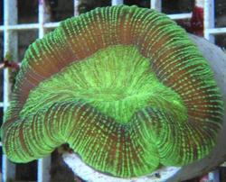 Brain Coral: Green