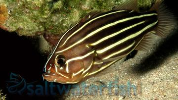 Six Lined Soapfish