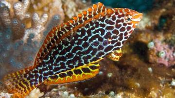 Leopard Wrasse - Female - Super Special 1