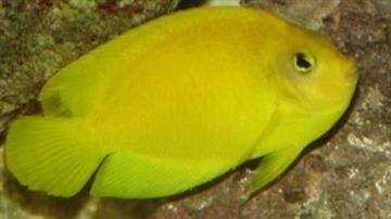 Yellow Angelfish - Super Special