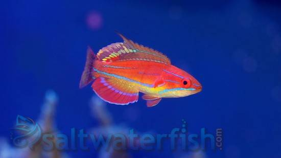 McCosker's Flasher Wrasse - Limit 1