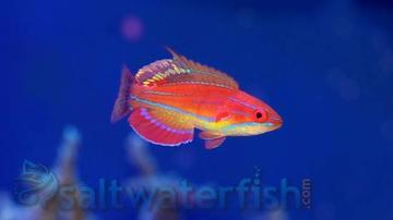 McCosker's Flasher Wrasse: Male - South Asia