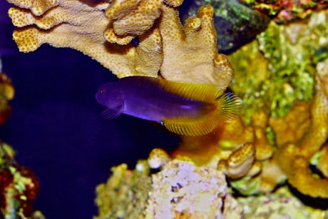 Flametail Blenny