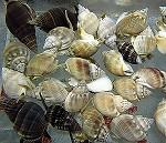 Nassarius Snail - Group of 50