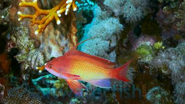 Lyretail Anthias - Male- Super Special