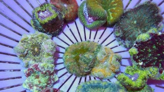 Maxi-Mini Carpet Anemone