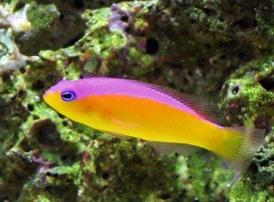 Purpleback Pseudochromis - Black Friday Now Save 32% OFF!