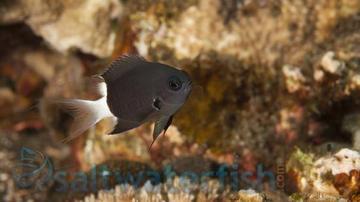 Bicolor Chromis Damsel