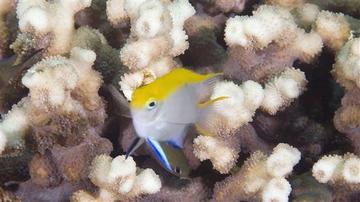 Black Damselfish - Juvenile