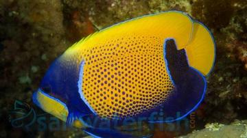 Majestic Angelfish - Customer Favorite Mega Sale