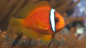 Tomato Clownfish - Captive Bred