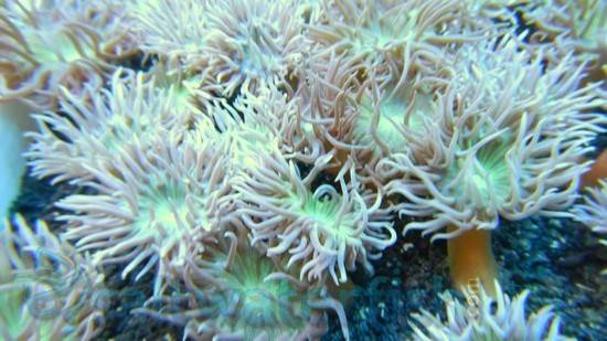 Australian Duncanopsammia - Per Polyp