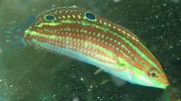 Christmas Wrasse - Hawaii - Limit 1 - Super Special SAVE 48%