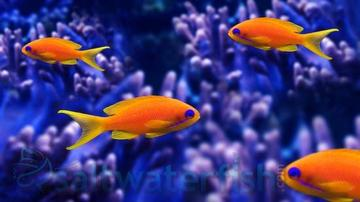Lyretail Anthias - Female - Limit 1