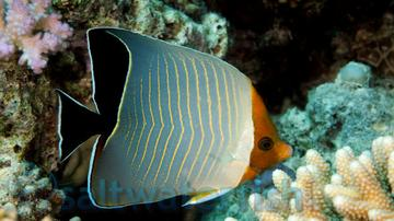 Larvatus Butterfly - Red Sea