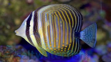 Desjardinii Sailfin Tang - Red Sea