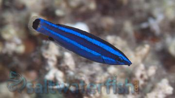 Four-Line Cleaner Wrasse - Red Sea