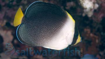 Singapore Angelfish