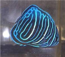 Annularis Angelfish: Juvenile