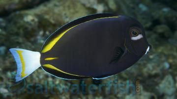Gold Rim Tang - Central Pacific