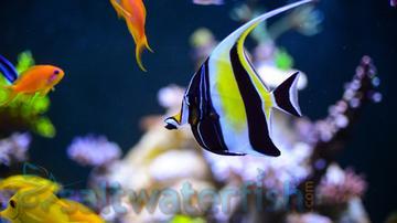 Miscellaneous unique marine life for Moorish idol fish
