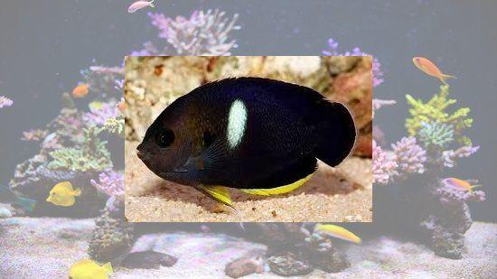 Melas (Keyhole) Angelfish