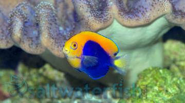 Flameback Angelfish  - African