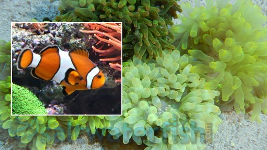 Bubble Tip Anemone with False Percula Clownfish