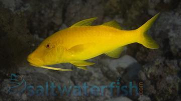 Goldsaddle Goatfish - Fiji - MAC Certified
