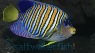 Regal Angelfish - Yellow Belly