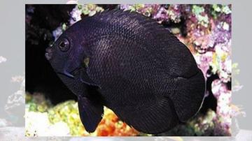 Midnight Angelfish