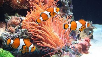 False Percula Clownfish - Captive Bred Group of 2