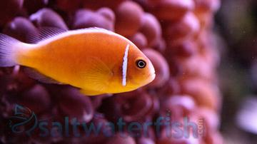 Pink Skunk Clownfish - Captive Bred