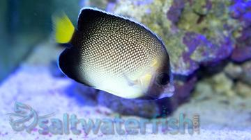 Cream Angelfish