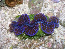 Maxima Clam - 1st Grade Blue/Purple - Captive Bred